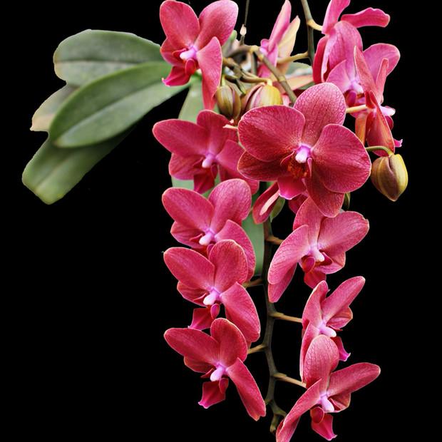 Phalaneopsis in bloom