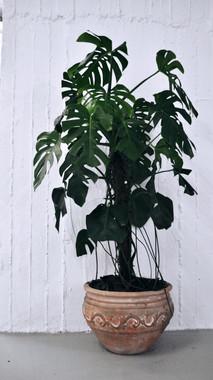 Plant Uncommon