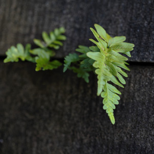 Fern in the Wall