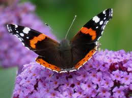 All Creation Is Groaning – The Glorious Red Admiral Butterfly
