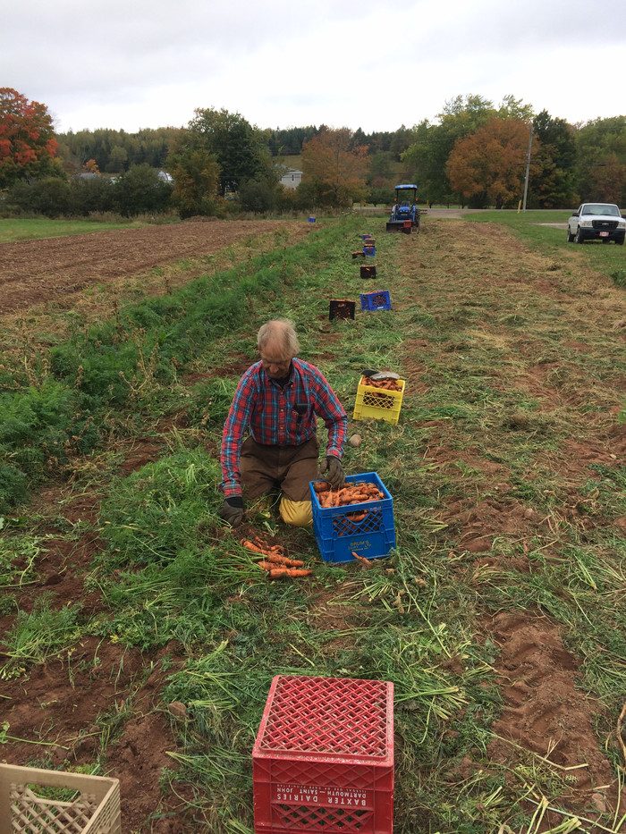 Harvesting the Last of the Carrots - 2020