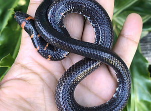 Cylindrophis ruffus.JPG
