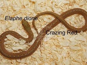 Elaphe dione - 1.1 Crazing Gold~Reddish