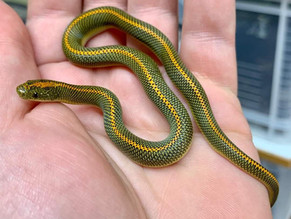 House Snakes - MARCH/APRIL IMPORT