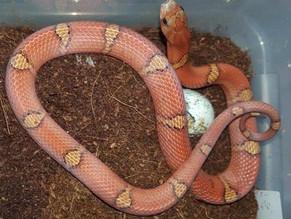 Kukri Snakes (Oligodon purpurascens) - June