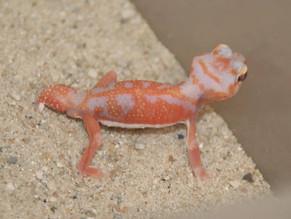 CB Gecko List II - MARCH/APRIL IMPORT