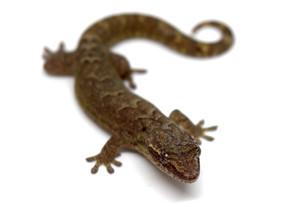 Mourning Geckos (Lepidodactylus lugubris) - June
