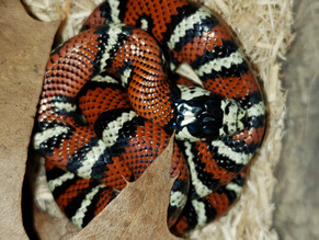 Andean Milk Snakes (Lampropeltis triangulum andesiana) - MARCH/APRIL IMPORT