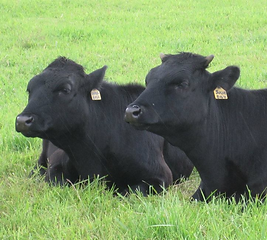 Two organic beef cows resting in pasture