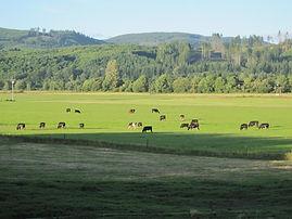 Organic beef herd in sunny pasture
