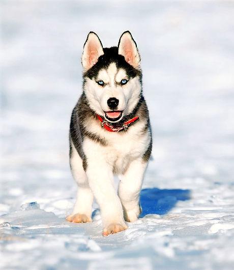 Husky Puppy Snow_edited.jpg