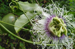 Passion Flower and Fruits