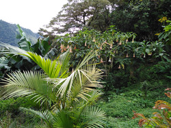 Acai Palm in Fruit Orchard