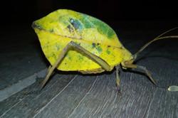 Autumn Leaf Bug