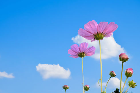 Isolated pink cosmos flowers on clouds a