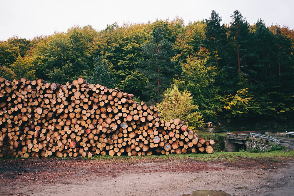 In this picture you can see pile of trees before going to the mill.