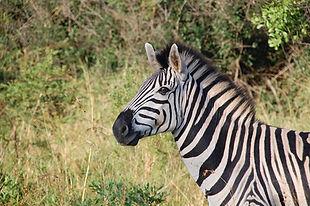 África-do-Sul-Zebra