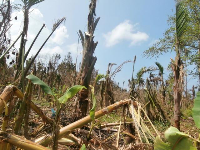 Destroyed banana and sago palm