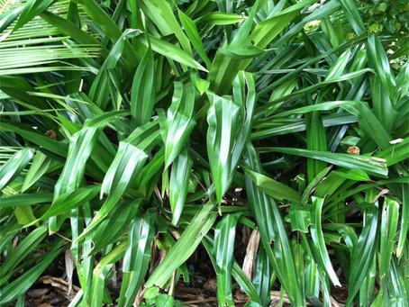 Growing Lata's Garden