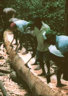 Figure 11. With adze and ax, men of Taumako shape a log into a tepuke hull. (Photo by H. M. Wyeth)
