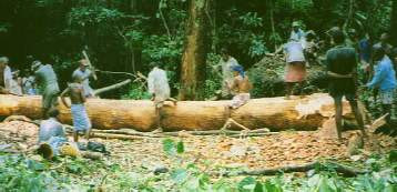 Figure 10. Roughing out a hull in the forest. Once the log has been partly shaped and hollowed, people will drag it down to the shore for finishing. Lacking roads, ropes, and wheeled transport, the Taumako must work together to cut a path for the log, make hawsers of bark with which to haul it, and then pull it as a team. Truly it takes a village to make one of these canoes! (Photo by H. M. Wyeth)