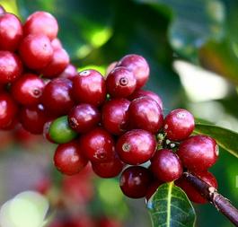 Ciliege Caffè