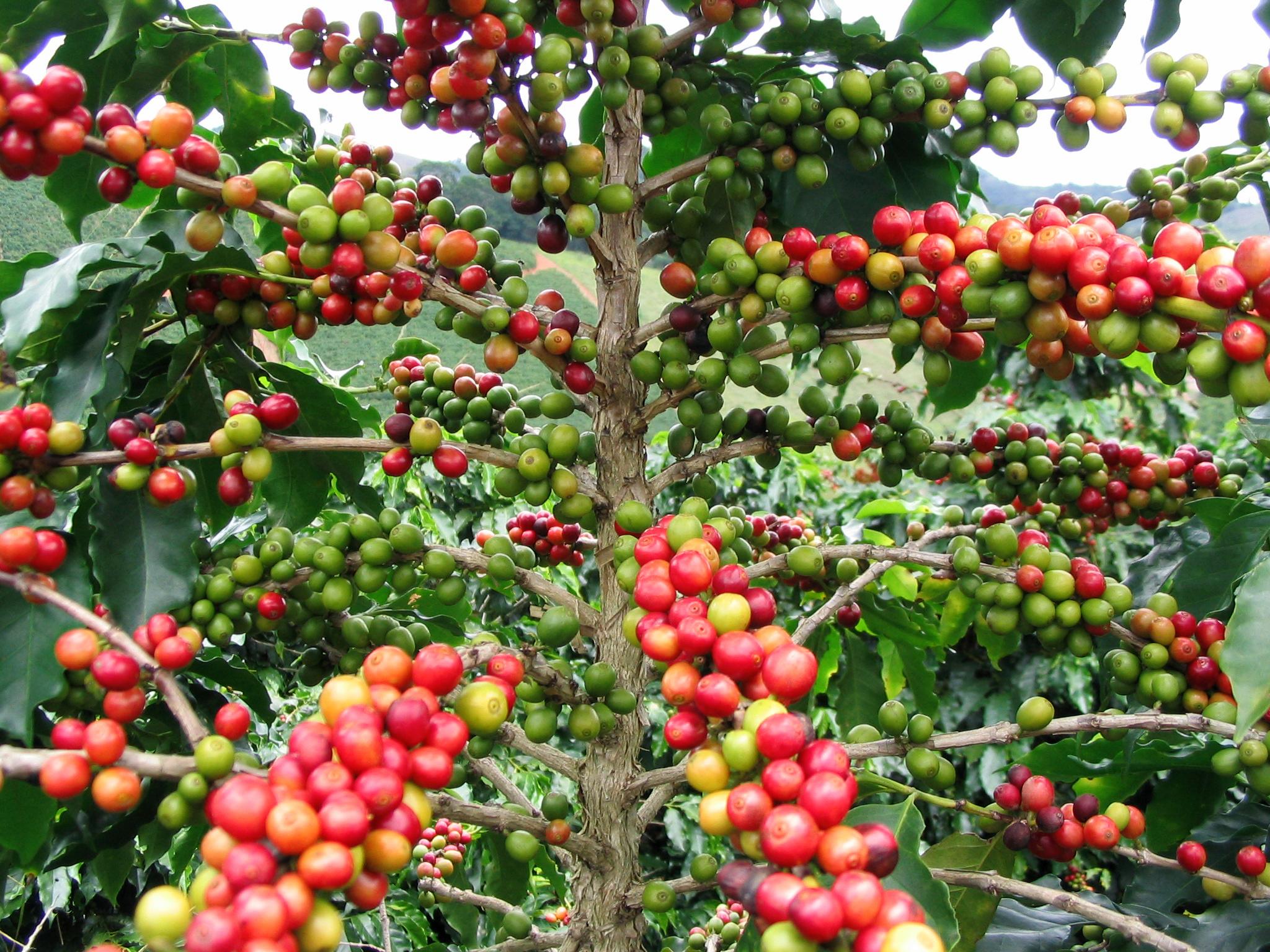 Caffè Verde Pianta