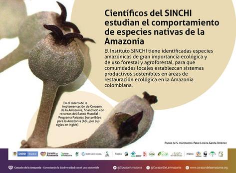 Científicos del SINCHI estudian el comportamiento de especies nativas de la Amazonía