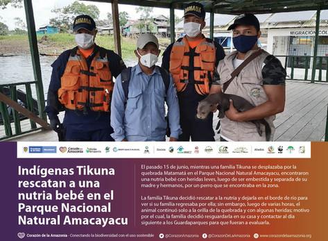 Indígenas Tikuna rescatan a una nutria bebé en el Parque Nacional Natural Amacayacu