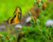 ButterflyA.jpg