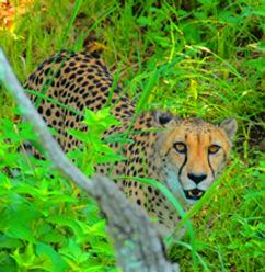 JaguarCropAS.jpg