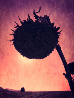 WheatlandSunflowers3 copy