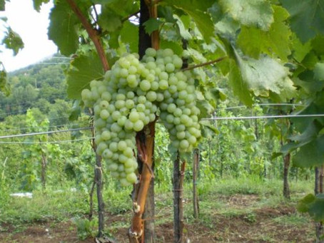 Jarbola - Wine Pride of Zvoneća