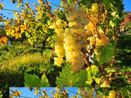 Slavonski, baranjski i srijemski vinari zajedno u promociji graševine