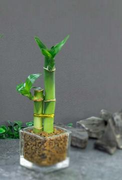 P3 - Bamboo con Florero de vidrio 5cm alto * 5cm ancho