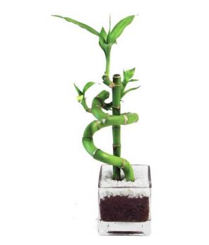 Plantas para empresas Bamboo