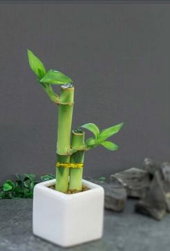 Bamboo con Florero de cerámica blanca