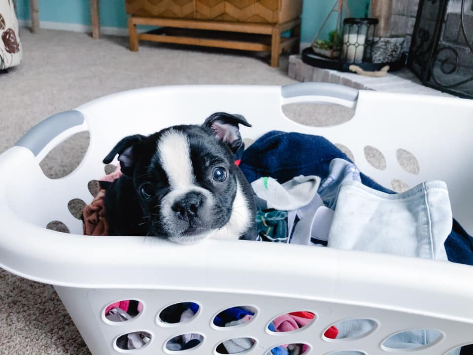 Small puppy peeks out from inside a laundry basket.