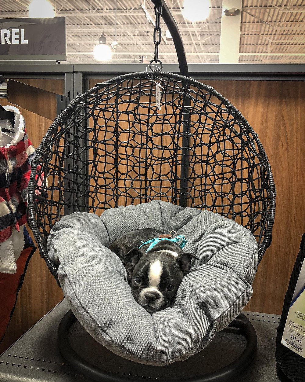 Kiki rests on a store display. It is a swinging egg shaped dog bed.
