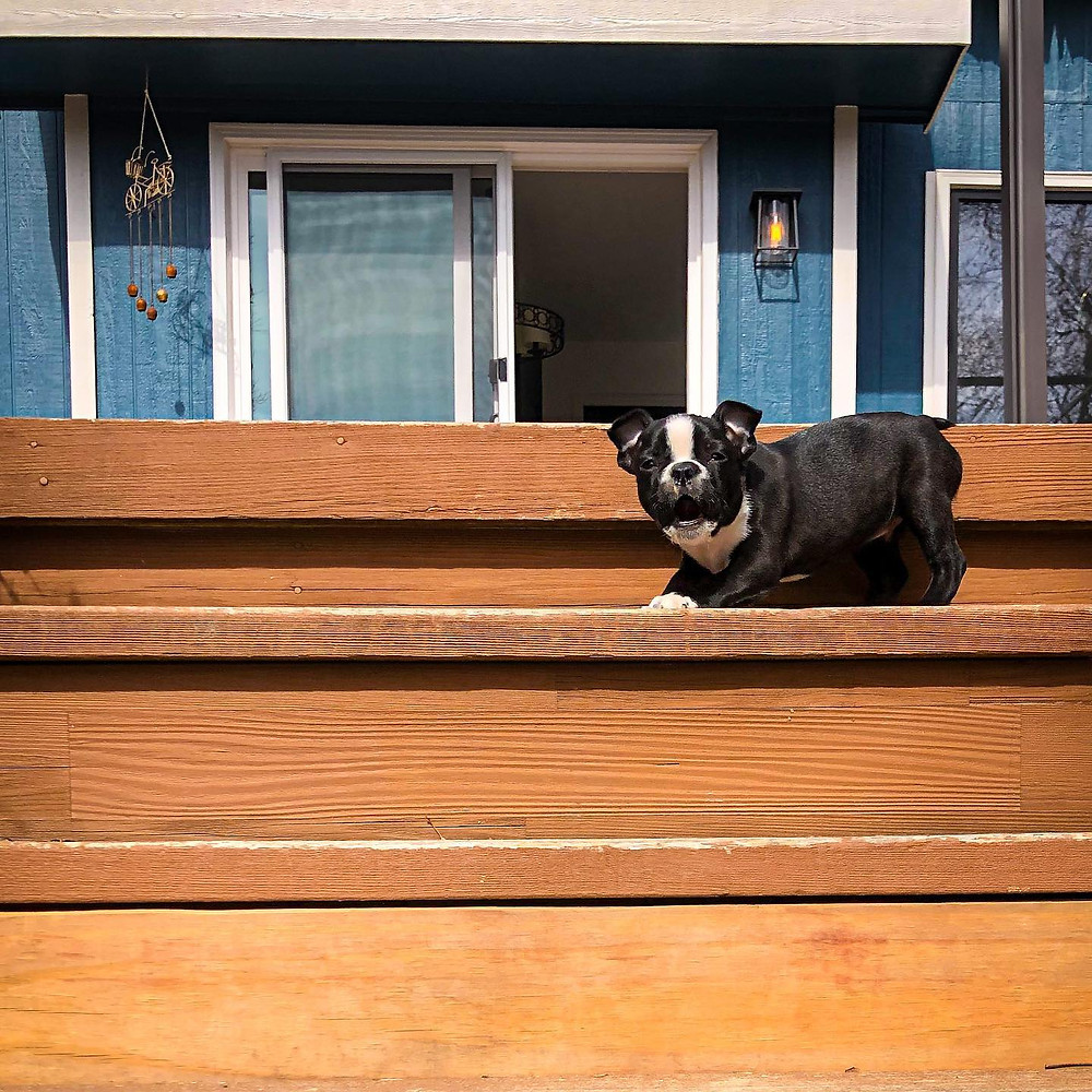 Small puppy on deck stairs, appearing to bark.