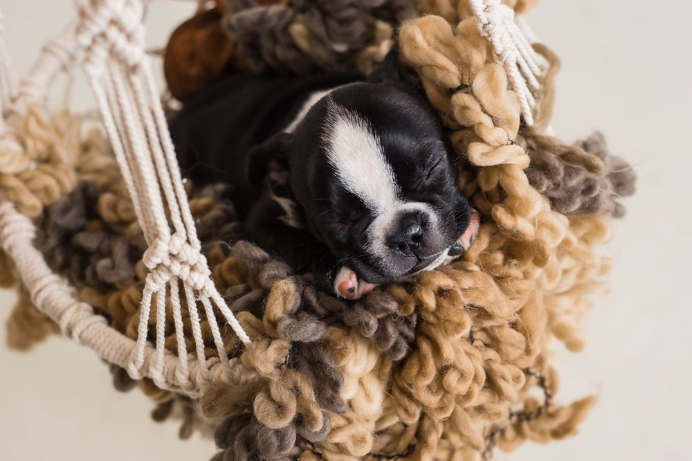 Small boston terrier puppy asleep in suspended basket