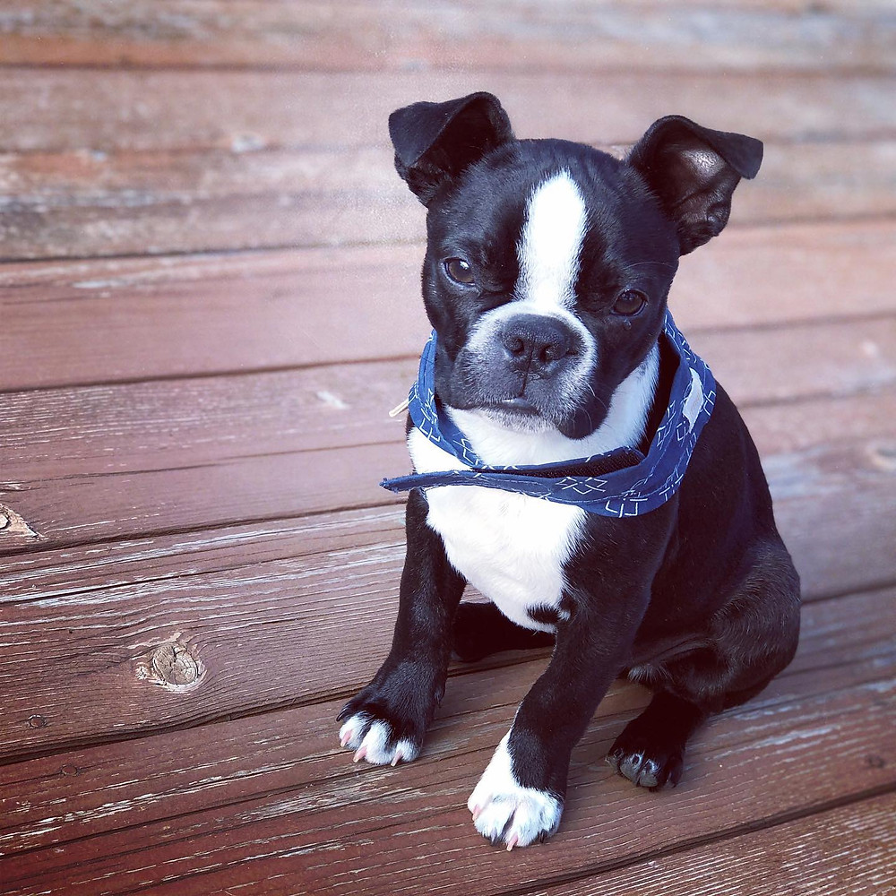 Kiki sits on an outdoor deck, wearing a blue bandana.