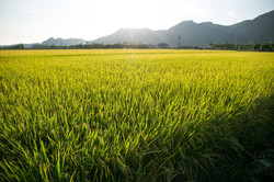 稻田-4.jpg