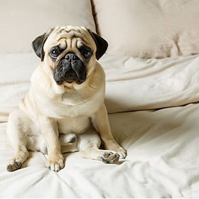 Luxury Sheet Pug.jpg