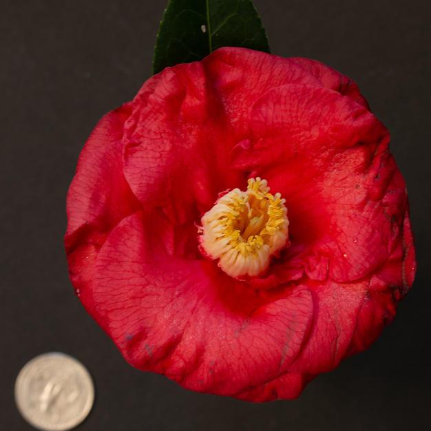 Tricolor Red Med 1183.jpg