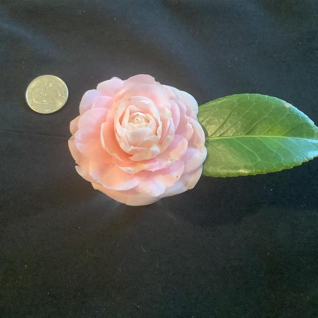 Pink Perfection Sm 1282.jpg