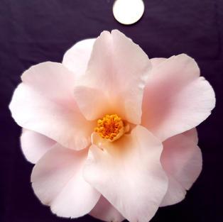 Magnoliaeflora Med 1539.jpg