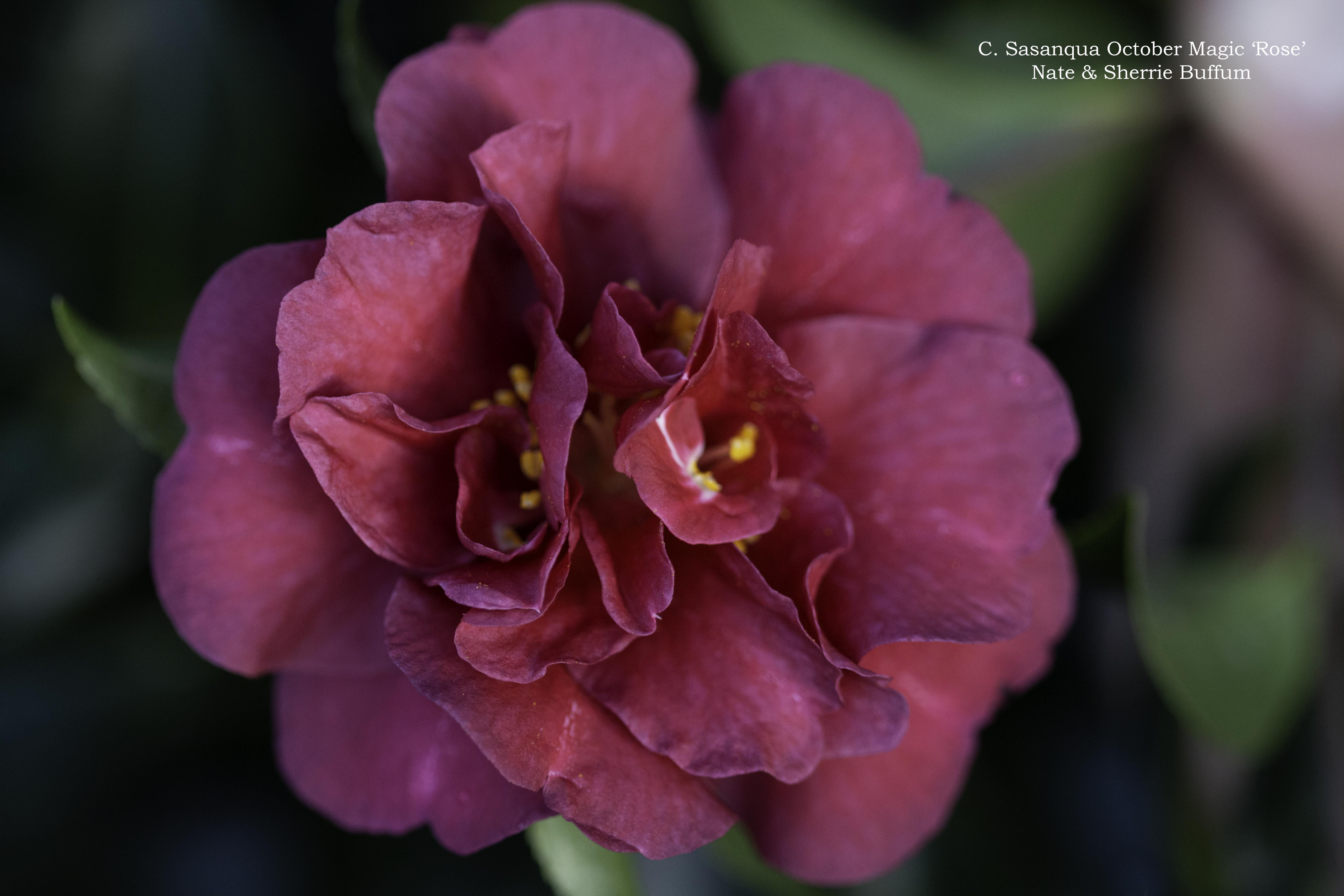 Rose Buffum
