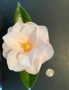 Magnoliaeflora Med 1159.jpg