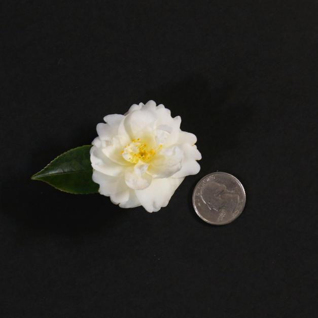 Buttermint Mini 1754.JPG